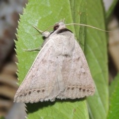 Pantydia sparsa ( A noctuid moth) at Conder, ACT - 1 Dec 2016 by michaelb