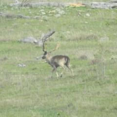 Dama dama (Fallow Deer) at Michelago, NSW - 8 Oct 2016 by RyuCallaway