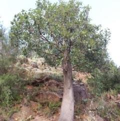 Brachychiton populneus subsp. populneus (Kurrajong) at Bullen Range - 10 Dec 2016 by MatthewFrawley