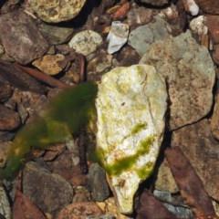 Spirogyra sp. (A green filamentous algae) at Namadgi National Park - 1 Dec 2016 by KenT