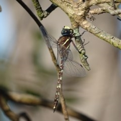 Adversaeschna brevistyla (Blue-spotted Hawker) at Jerrabomberra Wetlands - 10 Dec 2016 by roymcd