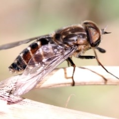 Dasybasis sp. (genus) (A march fly) at Higgins, ACT - 10 Dec 2016 by AlisonMilton