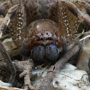 Neosparassus sp. (genus) at Wandiyali-Environa Conservation Area - 14 Dec 2016