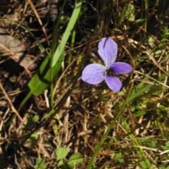 Viola betonicifolia (Purple Violet) at Namadgi National Park - 9 Dec 2016 by JohnBundock