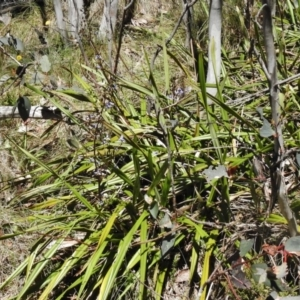Dianella tasmanica at Namadgi National Park - 9 Dec 2016
