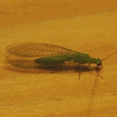 Mallada sp. (genus) (Green lacewing) at Conder, ACT - 29 Oct 2016 by michaelb