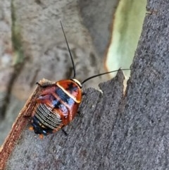 Ellipsidion australe (Austral Ellipsidion cockroach) at Wandiyali-Environa Conservation Area - 17 Dec 2016 by Wandiyali