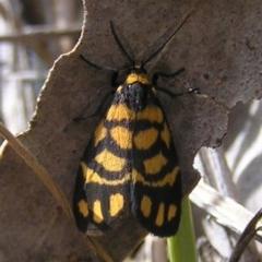 Asura lydia (Lydia Lichen Moth) at Aranda Bushland - 17 Dec 2016 by MatthewFrawley