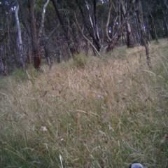 Gymnorhina tibicen (Australian Magpie) at Mulligans Flat - 17 Dec 2016 by MulligansFlat1