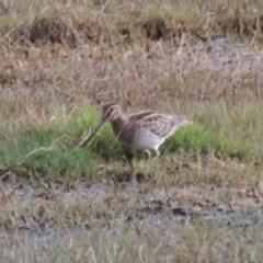 Gallinago hardwickii (Latham's Snipe) at Jerrabomberra Wetlands - 13 Dec 2016 by michaelb