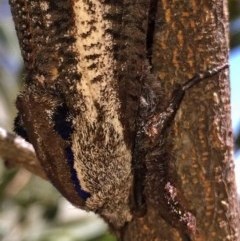 Endoxyla encalypti (Wattle Goat Moth) at Wandiyali-Environa Conservation Area - 22 Dec 2016 by Wandiyali