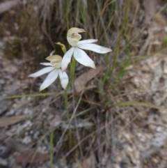 Caladenia moschata (Musky caps) at Tidbinbilla Nature Reserve - 19 Nov 2016 by galah681