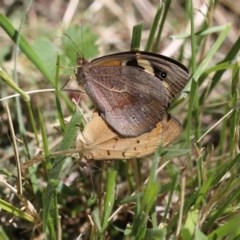 Heteronympha merope (Common Brown) at O'Connor, ACT - 19 Dec 2016 by ibaird
