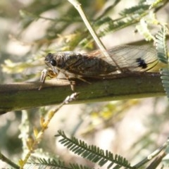 Galanga labeculata (Double-spotted cicada) at Black Mountain - 23 Dec 2016 by ibaird