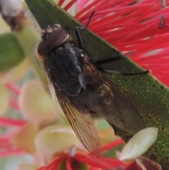 Calliphora sp. (genus) (Unidentified blowfly) at Conder, ACT - 29 Nov 2016 by michaelb