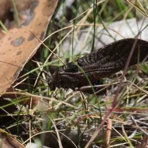 Acripeza reticulata at Namadgi National Park - 17 Jan 2016