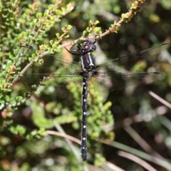 Eusynthemis guttata (Southern Tigertail) at Namadgi National Park - 17 Jan 2016 by HarveyPerkins