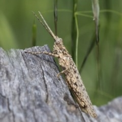 Coryphistes ruricola (Bark grasshopper) at Gigerline Nature Reserve - 7 Nov 2010 by HarveyPerkins