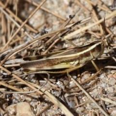 Macrotona australis (Common Macrotona Grasshopper) at Uriarra Recreation Reserve - 3 Jan 2014 by HarveyPerkins