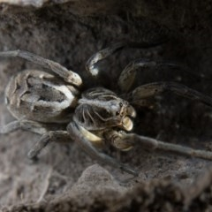Tasmanicosa sp. (genus) (Unidentified Tasmanicosa wolf spider) at Mulligans Flat - 23 Dec 2016 by CedricBear