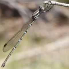 Austrolestes leda (Wandering Ringtail) at Black Mountain - 23 Dec 2016 by ibaird