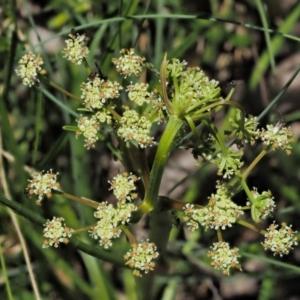 Aciphylla simplicifolia at Namadgi National Park - 10 Dec 2016