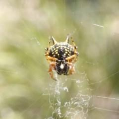 Austracantha minax (Christmas Spider, Jewel Spider) at Black Mountain - 23 Dec 2016 by ibaird