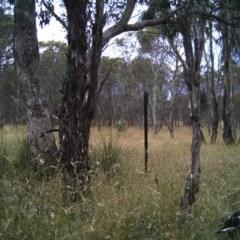 Gymnorhina tibicen (Australian Magpie) at Mulligans Flat - 26 Dec 2016 by MulligansFlat1