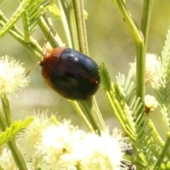Dicranosterna immaculata (Acacia leaf beetle) at Black Mountain - 23 Dec 2016 by ibaird