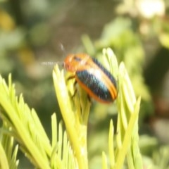 Calomela curtisi (Acacia leaf beetle) at Black Mountain - 23 Dec 2016 by ibaird