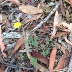 Hypericum gramineum (Small St Johns Wort) at Burra, NSW - 27 Dec 2016 by Safarigirl