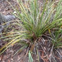 Lomandra longifolia (Spiny-headed Mat-rush, Honey Reed) at Burra, NSW - 27 Dec 2016 by Safarigirl
