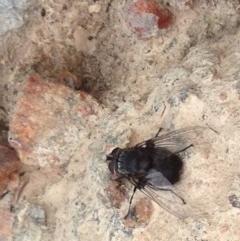 Rutilia (Donovanius) sp. (genus & subgenus) (A Bristle Fly) at Burra, NSW - 27 Dec 2016 by Safarigirl