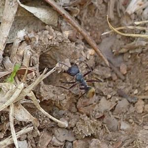 Camponotus suffusus at Brogo, NSW - 13 Dec 2016