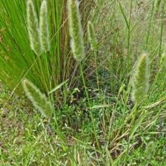 Polypogon monspeliensis at Sth Tablelands Ecosystem Park - 22 Dec 2016