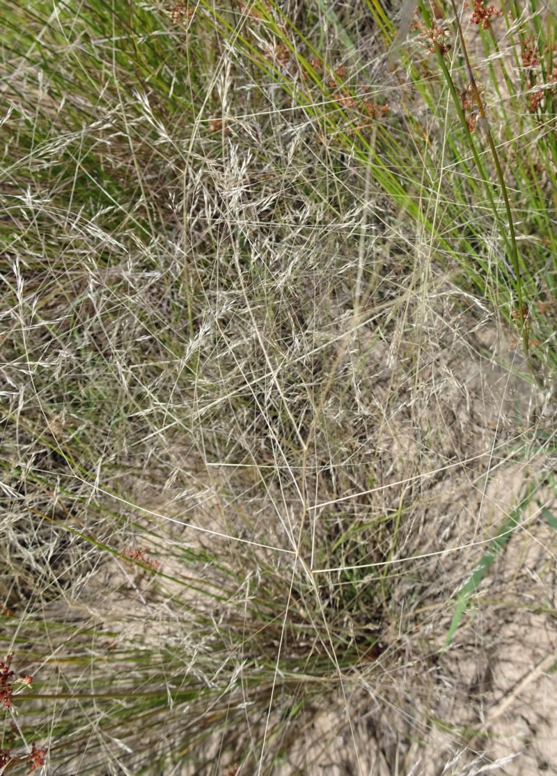 Lachnagrostis filiformis at Sth Tablelands Ecosystem Park - 22 Dec 2016