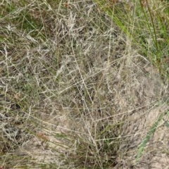 Lachnagrostis filiformis (Common Blown Grass) at Sth Tablelands Ecosystem Park - 22 Dec 2016 by galah681