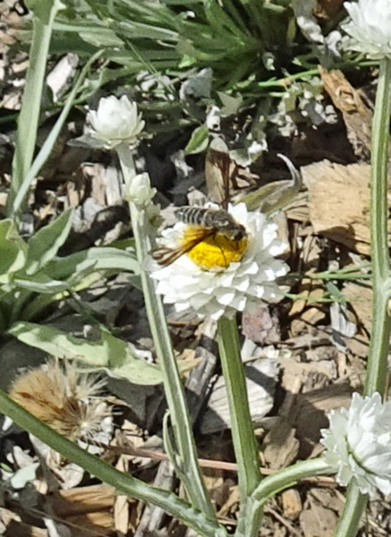 Bombyliidae sp. (family) at Sth Tablelands Ecosystem Park - 22 Dec 2016