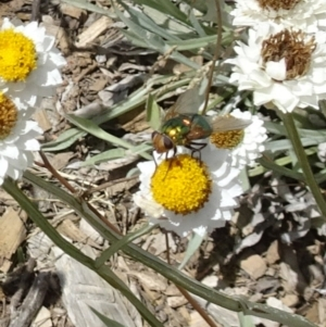 Rutilia sp. (genus) at Sth Tablelands Ecosystem Park - 22 Dec 2016