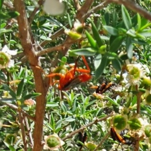 Lissopimpla excelsa at Sth Tablelands Ecosystem Park - 22 Dec 2016