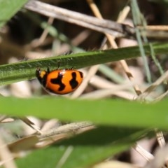 Coccinella transversalis (Transverse Ladybird) at O'Connor, ACT - 19 Dec 2016 by ibaird