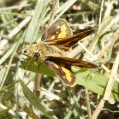 Ocybadistes walkeri (Greenish Grass-dart) at O'Connor, ACT - 19 Dec 2016 by ibaird