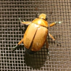 Anoplognathus sp. (genus) (Unidentified Christmas beetle) at O'Connor, ACT - 28 Dec 2016 by ibaird