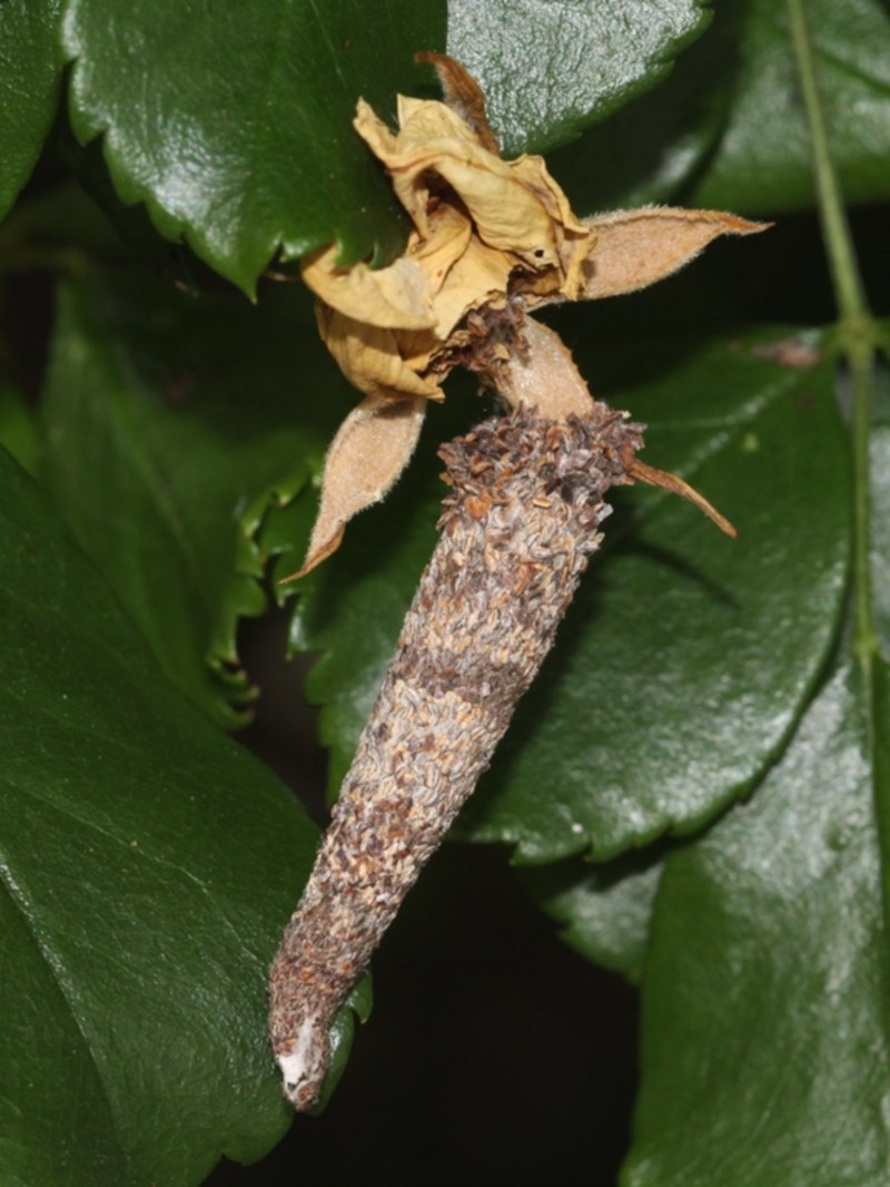 Lepidoscia (genus) at Kambah, ACT - 29 Dec 2016