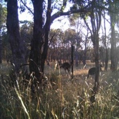 Macropus giganteus (Eastern Grey Kangaroo) at Mulligans Flat - 29 Dec 2016 by MulligansFlat1