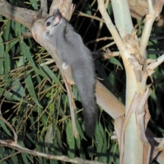 Petaurus breviceps (Sugar Glider) at Greenleigh, NSW - 19 Nov 2015 by CCPK