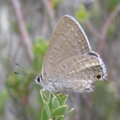 Jalmenus icilius (Amethyst Hairstreak) at Mount Taylor - 1 Jan 2017 by MatthewFrawley