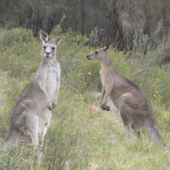 Macropus giganteus (Eastern Grey Kangaroo) at Mount Taylor - 1 Jan 2017 by MatthewFrawley