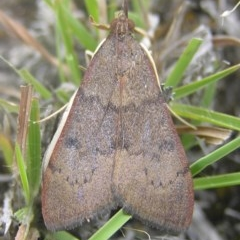 Uresiphita ornithopteralis (Tree Lucerne Moth) at Mount Taylor - 1 Jan 2017 by MatthewFrawley