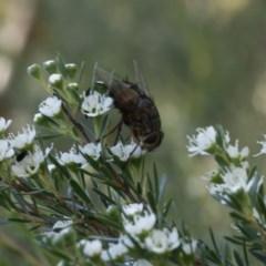 Rutilia (Rutilia) sp. (genus & subgenus) (Bristle fly) at Bruce Ridge - 31 Dec 2016 by ibaird